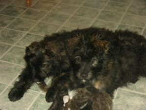 BOUVIER BRINDLE FEMALE