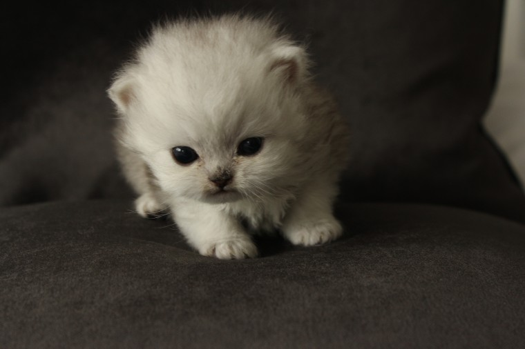Black And Blue Silver Chinchilla Persian Kittens