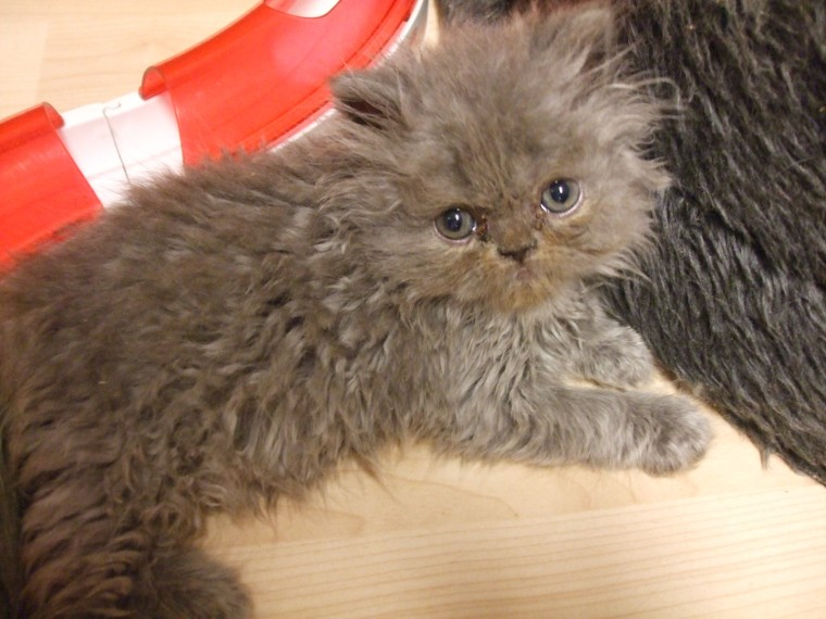 Persian Kittens Male And Females Available