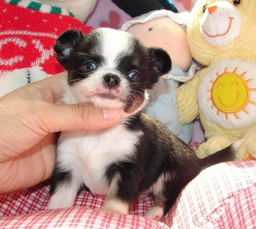 GIFT MINI TOY CHIHUAHUA PUPPIES MALES AND FEMALES,
