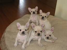 POTTY TRAINED FRENCH BULLDOG PUPPIES FOR ADOPTION