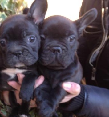 Donnajays Solid Blue Boy french bulldog