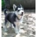 Two Beautifull Husky  Puppies Left