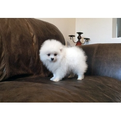 Pedigree Pomeranian Puppies