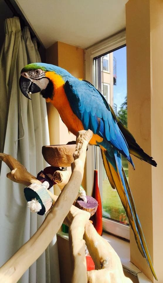 Blue & Gold Tame Macaw parrots