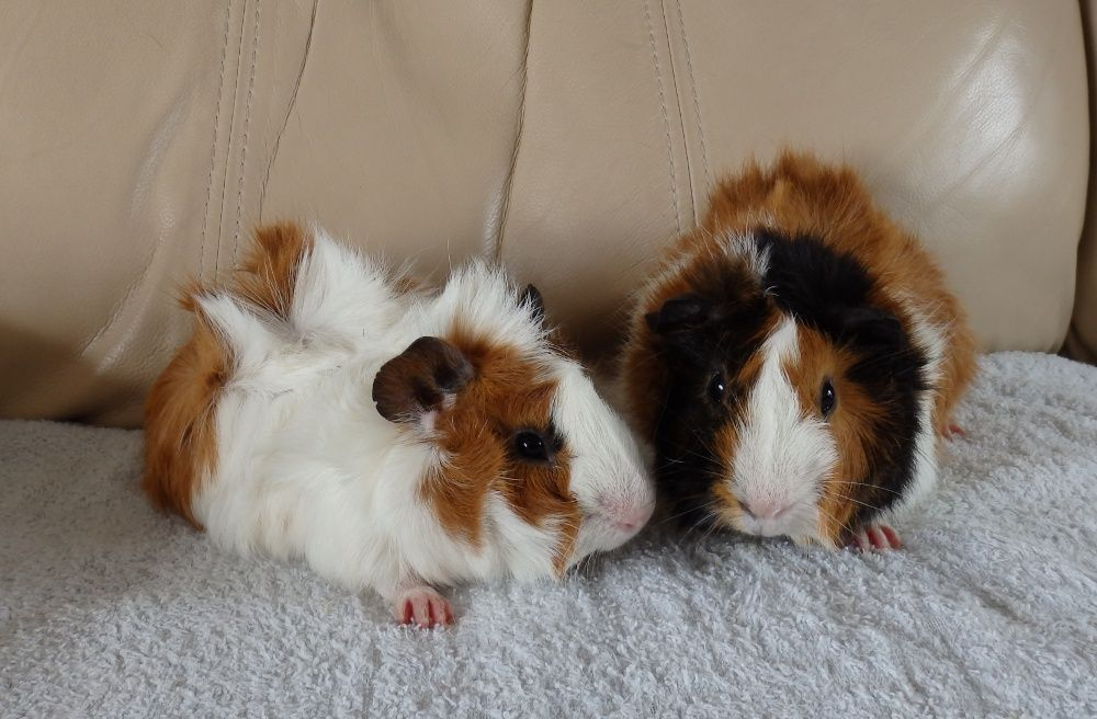 Funky Haired Guinea Pigs very friendly and lovely with kits