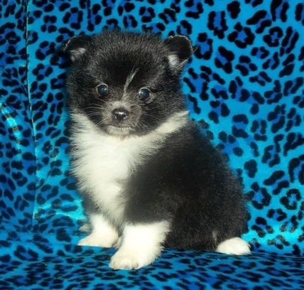 !!still Pomeranian Pups Nursing orange/white girls/boys a very outgoing personality Litter!!