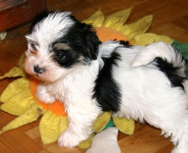 Cute Havanese pups up for adoption.