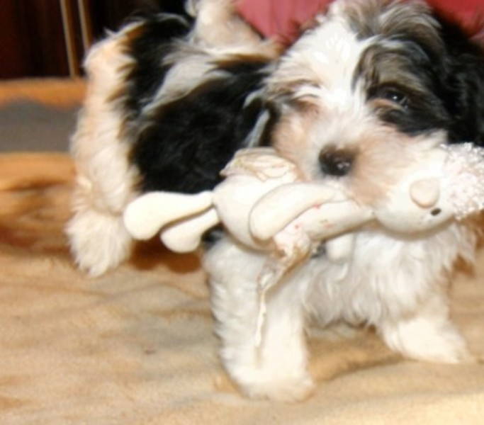 Great Havanese pups up for adoption.