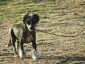 GLANORE  crested dog