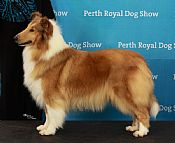 ARRANBRAE collie rough