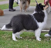 KIMTASH collie puppies