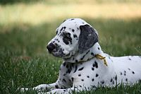 PAMPARD puppies dalmatian