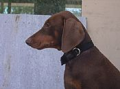 HONEYCREEK puppies doberman