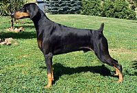 COPPERTOP puppies doberman pinscher