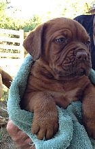 RED GUARDIAN puppies dogue