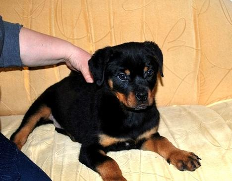 Top class Rottweiler Puppies ready now