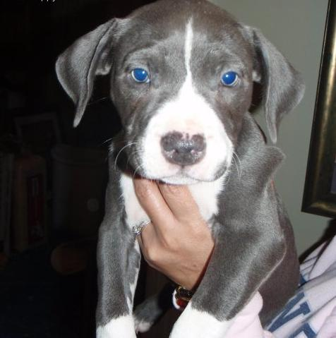 Blue Eyed American PitBull Puppies for Sale