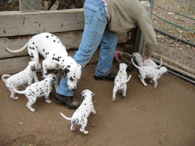 Dalmatian Puppies for Adoption