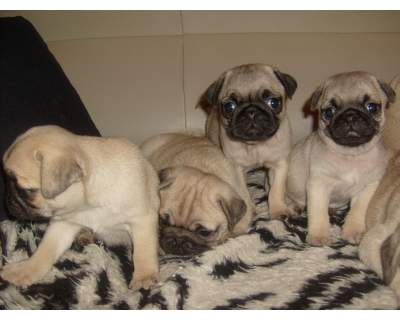 Pug Carlino Puppies for Sale