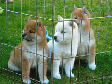 Cute Shiba Inu Puppies for Adoption