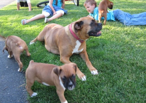 Cute Boxer Puppies for Adoption