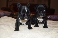 bulldog puppies mariosa