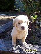BABBAMIAGOLD  golden retriever puppies