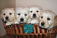 puppies golden retriever australia