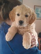 golden retriever puppie