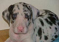 Great dane puppies WOLFCRESTS
