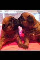 Griffon bruxellois puppies for sale