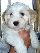 HASHKI Havanese puppies