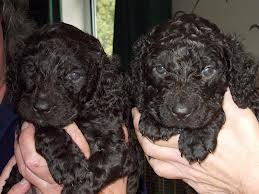 Irish water spaniel pups potty trained.
