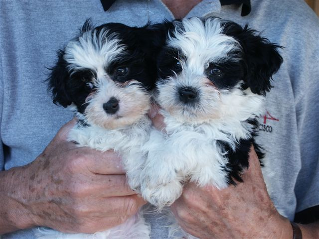 Havanese Puppies for good home