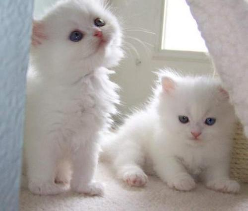Cute male and female persian kittens