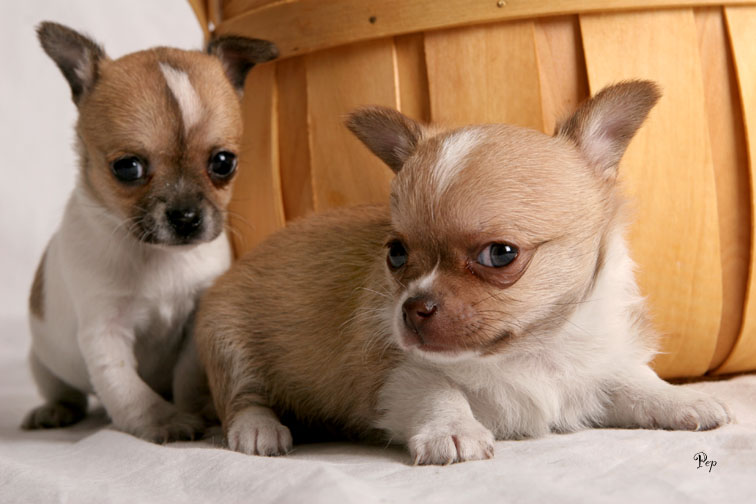 Cute Chihuahua  puppies for good homes.