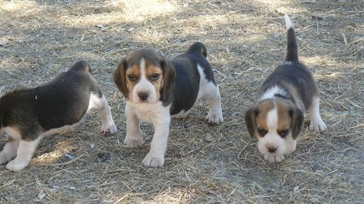 Excellent litter of Beagle available puppies with excellent morphological and genetic quality