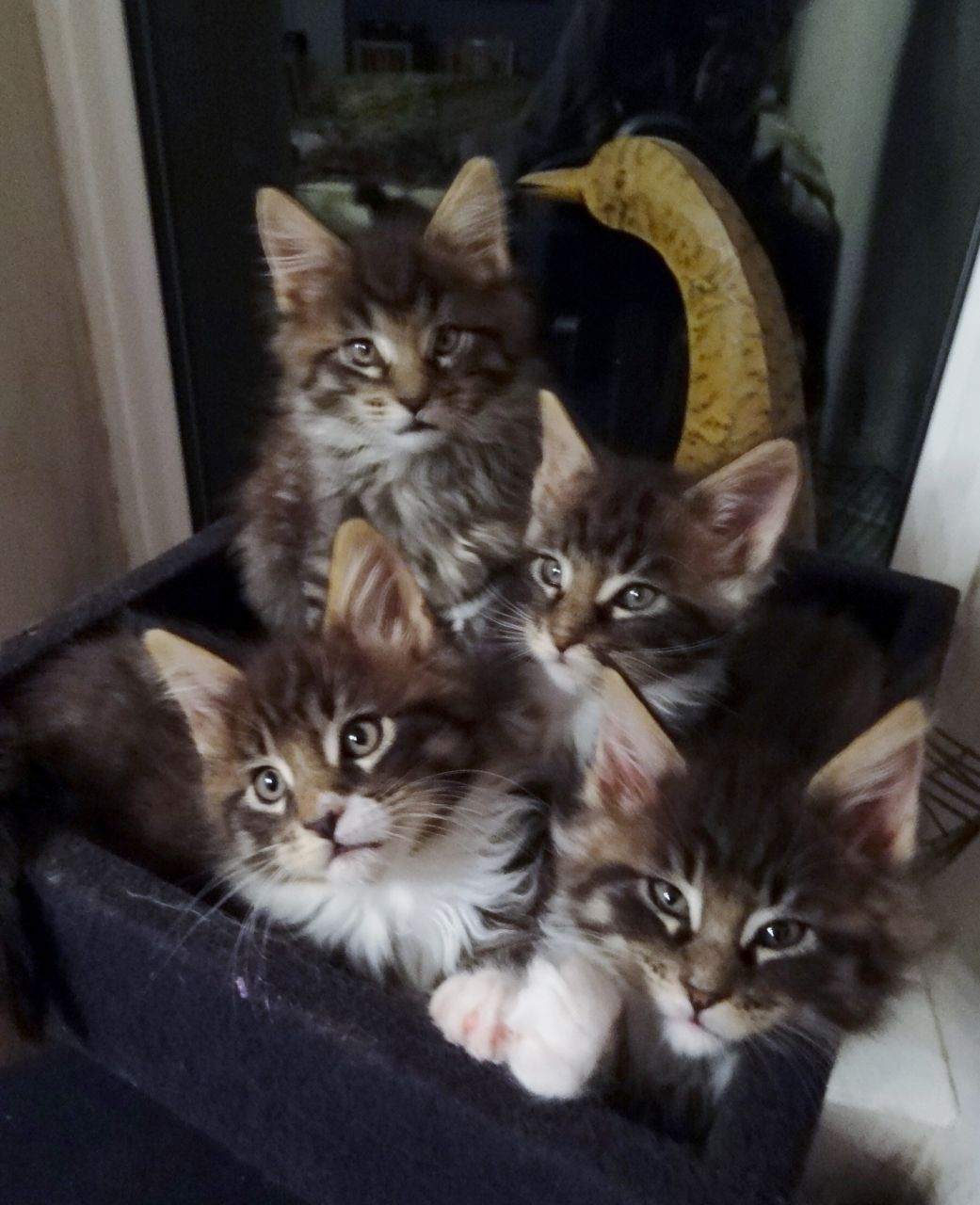 Four large Beautiful male Maine Coon kittens .