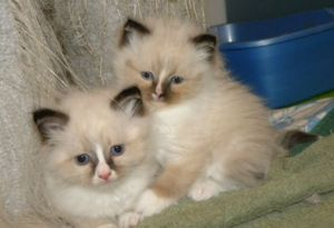 RAGDOLL X HIMALAYAN KITTENS AVAILABLE SOON
