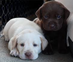 Adorable Labrador puppies