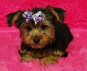 Outstanding T-Cup Yorkshire Terriers Puppies