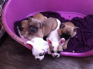 French bulldog puppy\′s kc registered and 5 generation pedigree