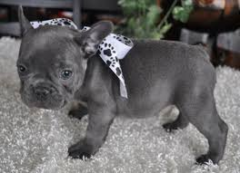 Special and beautifull french bulldog puppies for sale.
