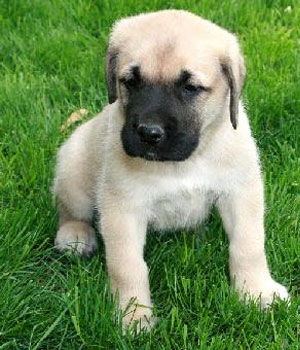 English Mastiff Puppies Now Available