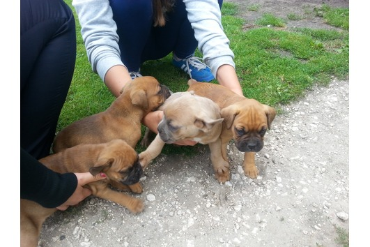 Boxer Puppies Now Available
