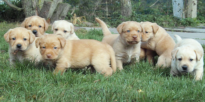 Labrador Puppies Now Available