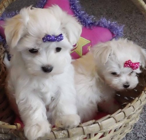 Geous Tiny Maltese Puppies for Adoption