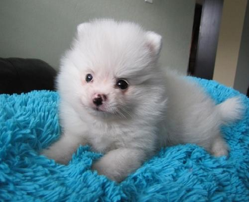 Lovely and Outstanding Pomeranian Puppies Looking for a Good Home