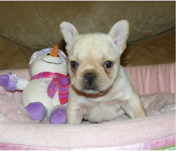 affectional french bulldog puppies as a gift for christmas